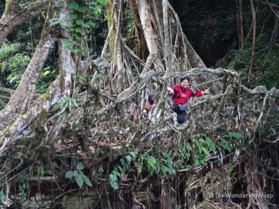 Northeast India, Riwai Living Root Bridge 2